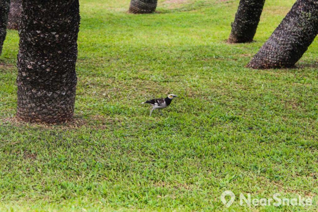 彭福公園是不少野生鳥類的棲息地,園內到處可見雀鳥四出覓食。