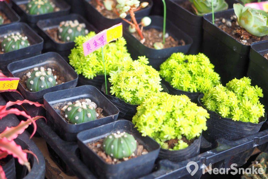 旺角花墟: 一些細小的盆栽較為經濟,售價由十元至幾十元不等。