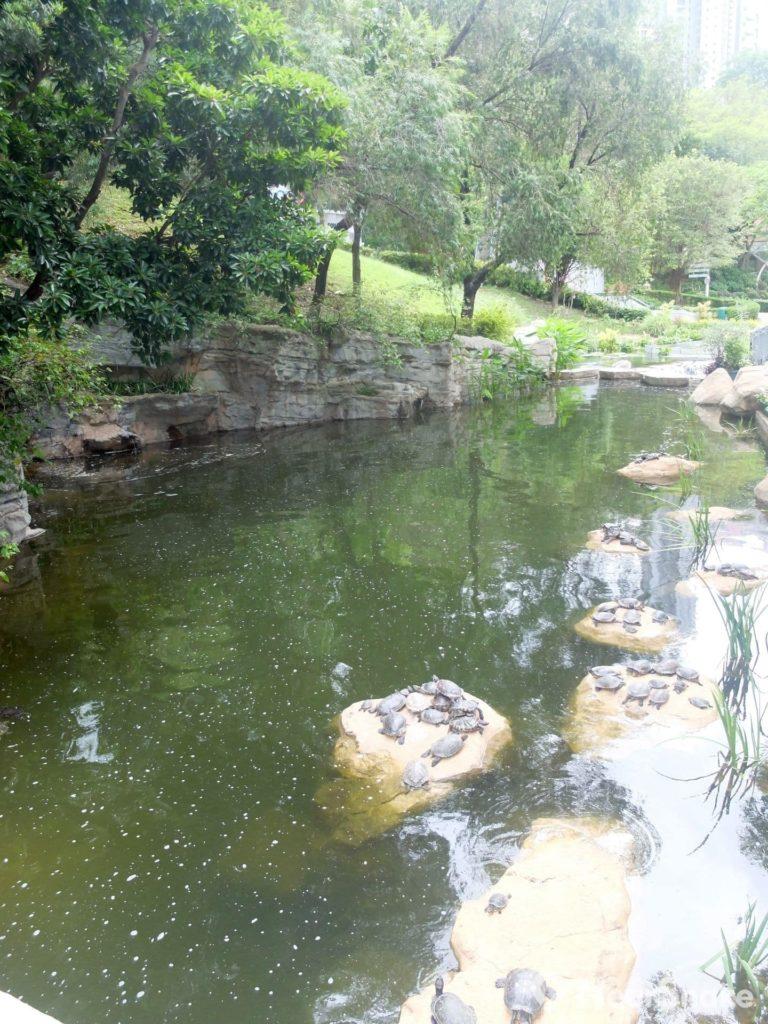 香港公園內的人工湖飼養了不少烏龜。