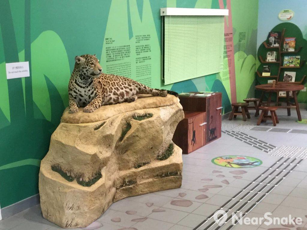 動植物公園的前鎮園之寶美洲豹「小花」在教育及展覽中心內以標本形式與大家再見面。