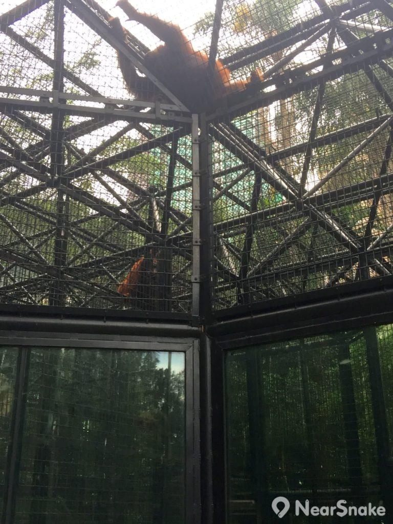 動植物公園內現役鎮園之寶是婆羅洲猩猩,惟不知相中的究竟哪一隻是「雲雲」、哪一隻是「華華」?