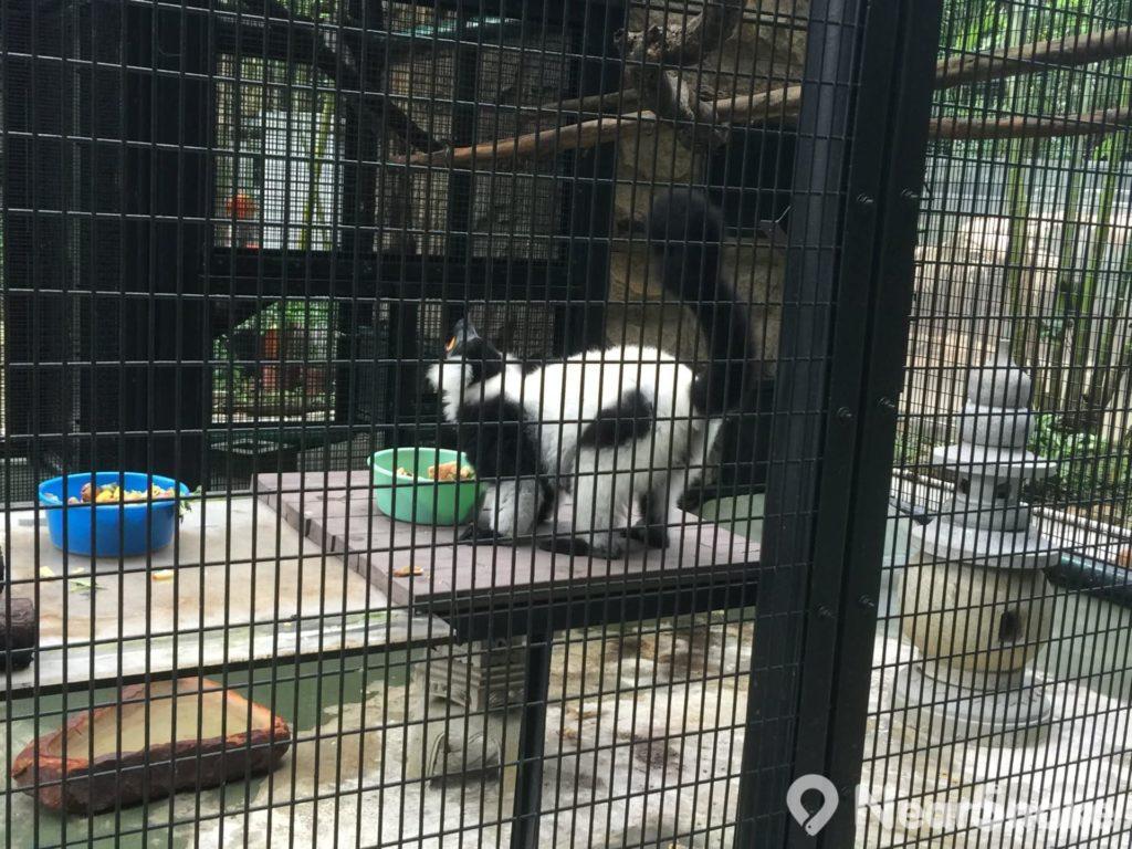 香港動植物公園: 領狐猴(Black And White Ruffed Lemur)居於熱帶雨林,喜於早上伸展四肢,享受晨光。