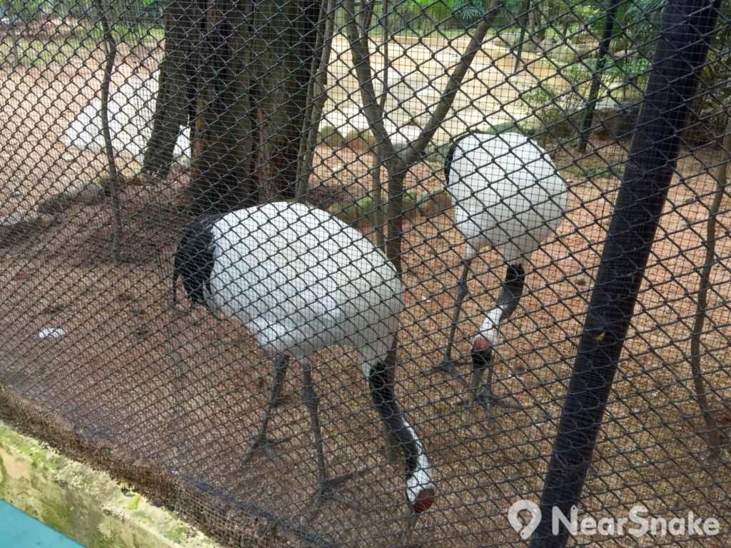 香港動植物公園: 丹頂鶴(Red-Crowned Crane)身體的羽毛是白色,頸項和尾部是黑色;頭頂沒有羽毛,只呈現丹紅色。牠站立時的高度約 1.3 米,展翅時寬度逾 2 米。