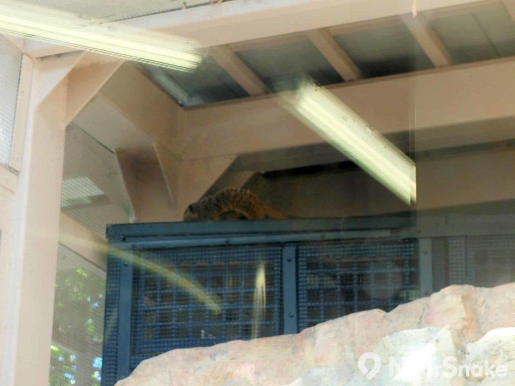 香港動植物公園: 狐獴(Meerkat)喜鑽洞又愛匿藏,見不見得到,很碰運氣呀!