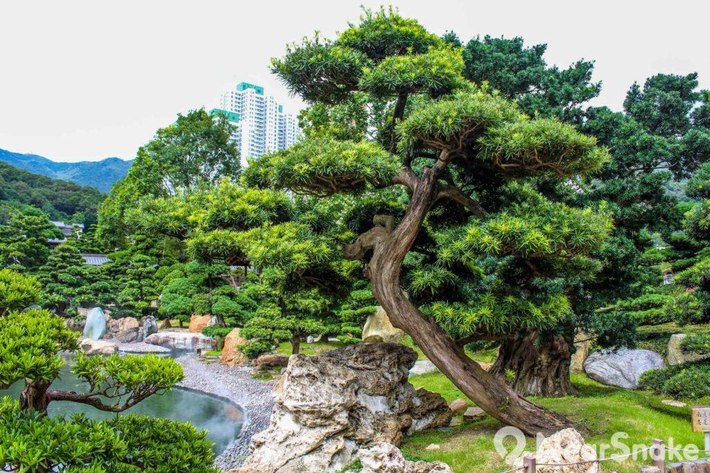 南蓮園池以唐代園池為藍本,種植的松柏造型各異。