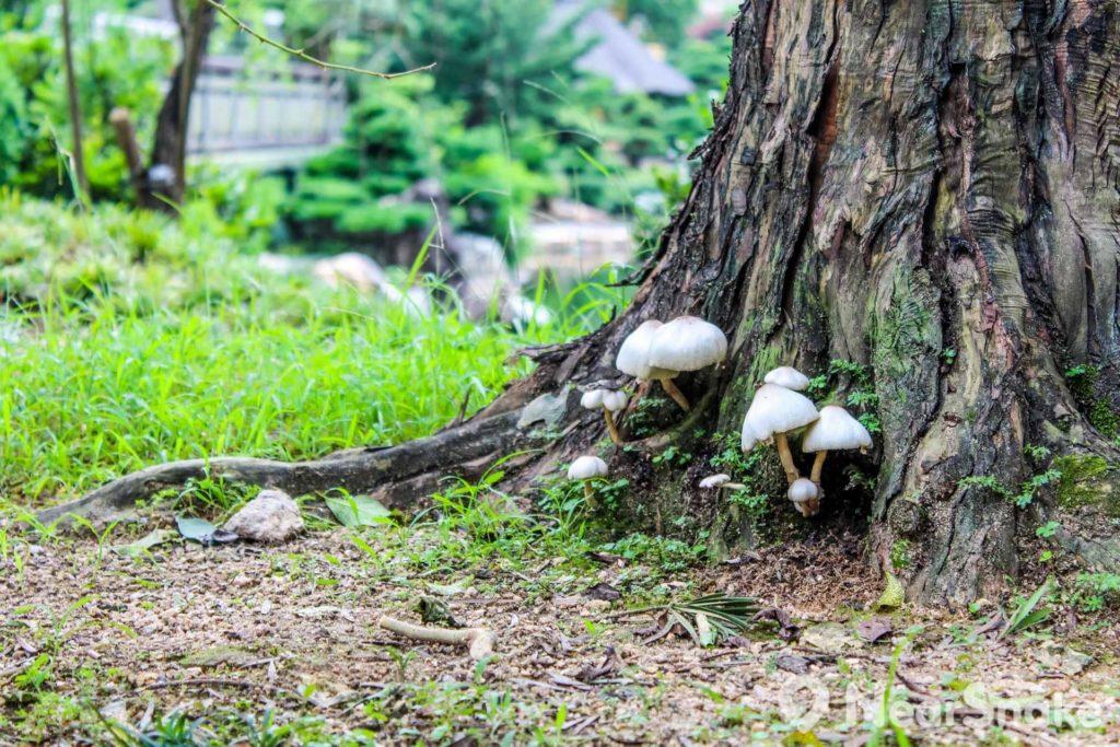 清新的空氣和乾淨的環境,令菇類可在園內生長。