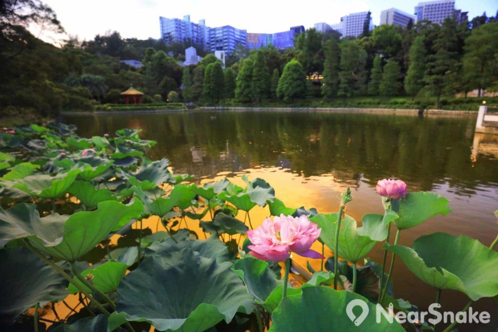 未圓湖坐落於香港中文大學崇基學院內,夾於眾志堂和嶺南體育場之間,乃攝影發燒友拍攝荷花美態的熱門景點。