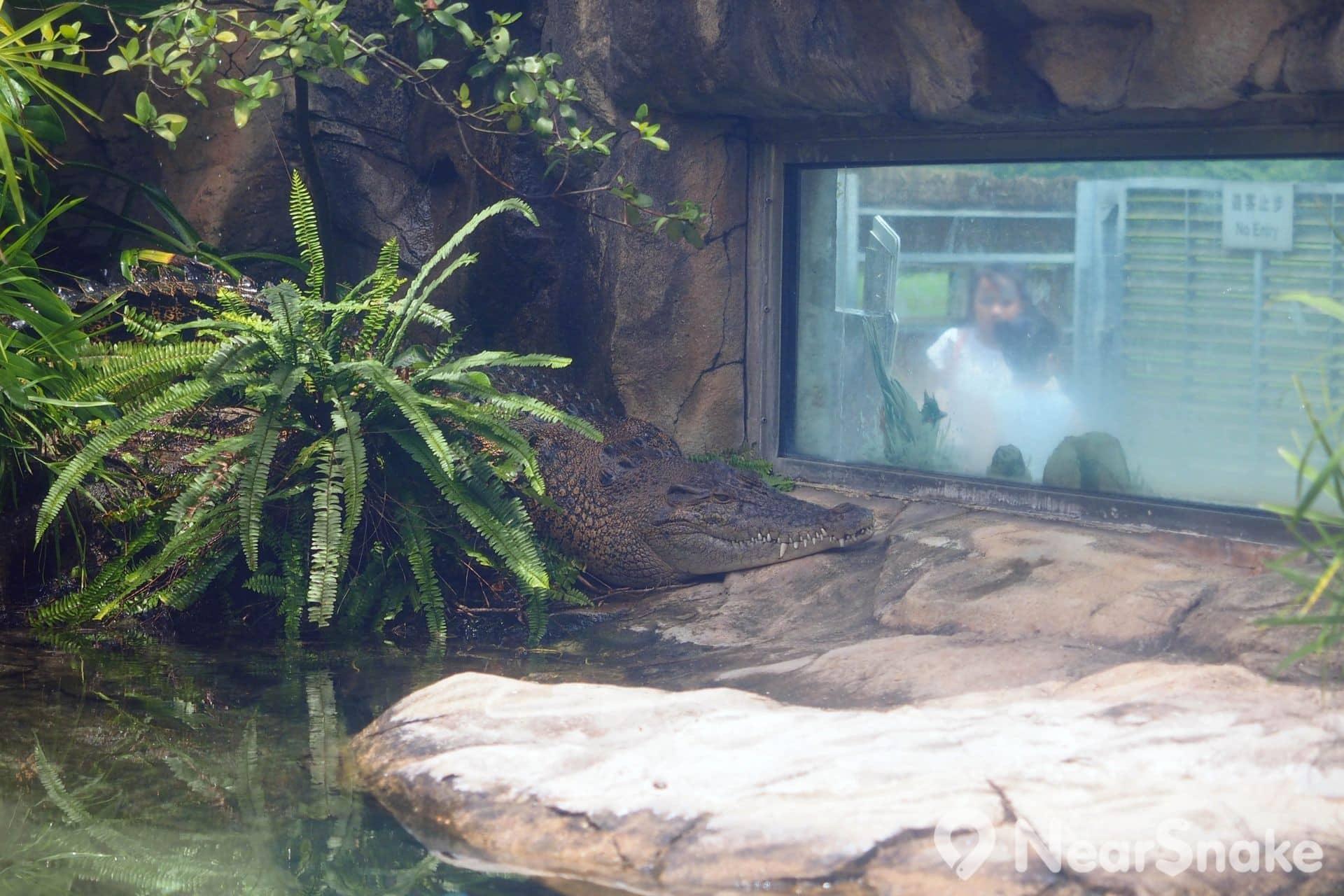 大家需隔著厚厚的玻璃來觀賞貝貝。因為貝貝享受日光浴時絲毫不動,所以有不少人笑言牠是一尾「假鱷魚」。
