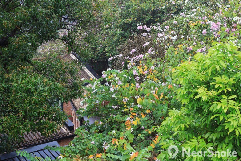 饒宗頤文化館內種滿了宮粉羊蹄甲,每年3至5月的花期便會滿山盛放,令該處變成極富意境的賞花之地。