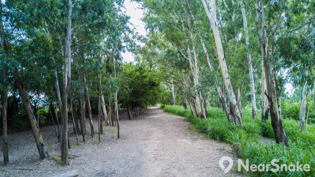 鏡頭可沒有擺歪,原來南生圍內有不少樹木整齊地打斜生長。