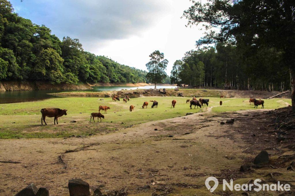 牛群自然放牧的景象,也不是常常可以見得到。