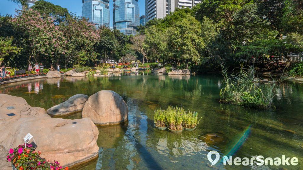 香港公園人工湖畔栽種了落羽松,入冬後樹葉變紅,便會形成紅葉點點的景致。