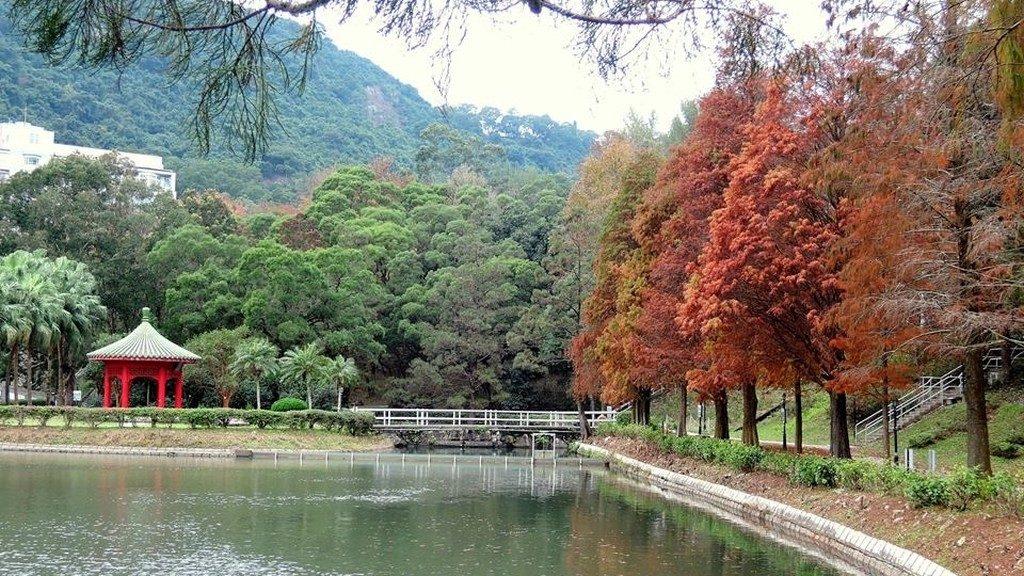中文大學未圓湖畔的落羽松「變紅」後,美態絕不遜於大棠紅葉。