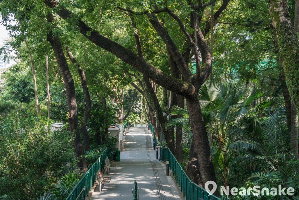 香港動植物公園內的楓香徑,兩旁種滿十多棵楓香樹,每逢秋冬時節便會蛻變成「紅葉隧道」。