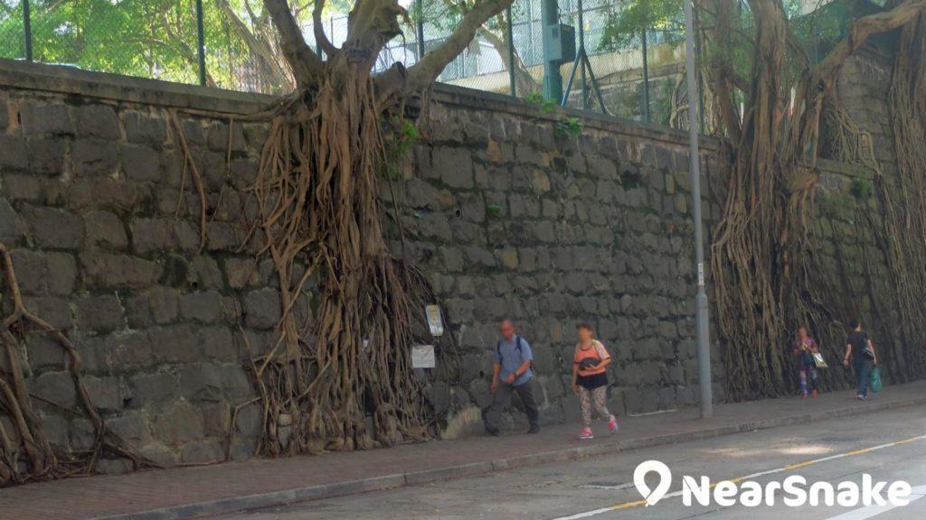 著名的科士街石牆樹布滿氣根,非但是西環 SOHO 區的地標,在港島區也是值得保留的獨特景觀。