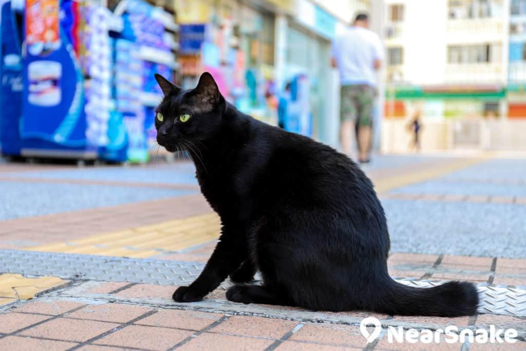 華富邨藥房飼養的黑色舖頭貓閒時四處遊盪,又會「坐定定」供途人拍照。