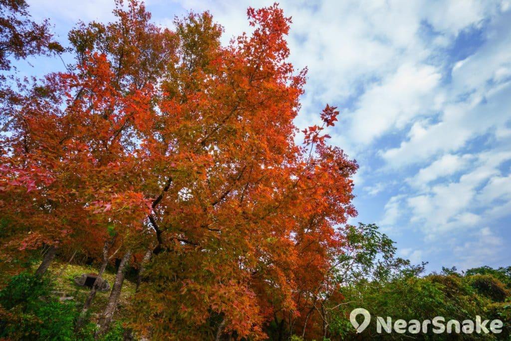 烏蛟騰有一排楓香樹,是鮮為人知的香港紅葉隱世景點。