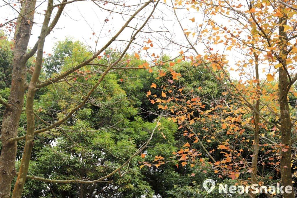 紅葉在翠綠的背景襯托下,顯得更加突出豔麗。