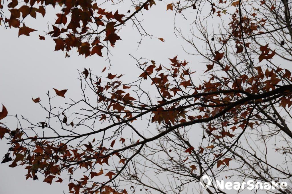 仰視拍攝樹上的紅葉,測光會受背光影響,令整張照片偏暗。