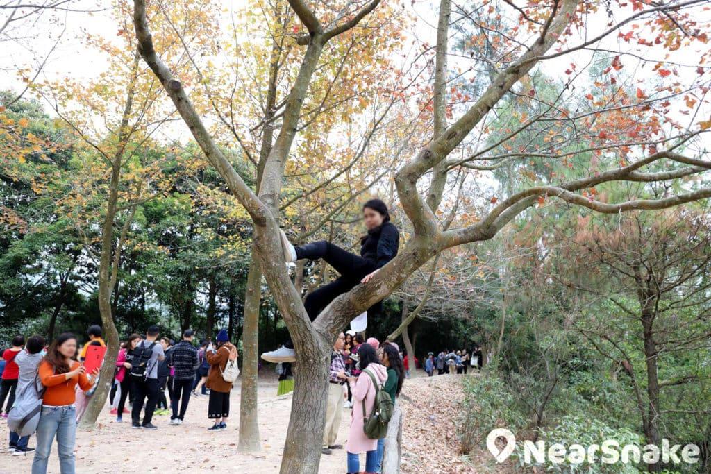 爬上紅葉樹上擺甫士拍照也不建議,除了安全問題,也不見得會拍攝到甚麼好照片吧。