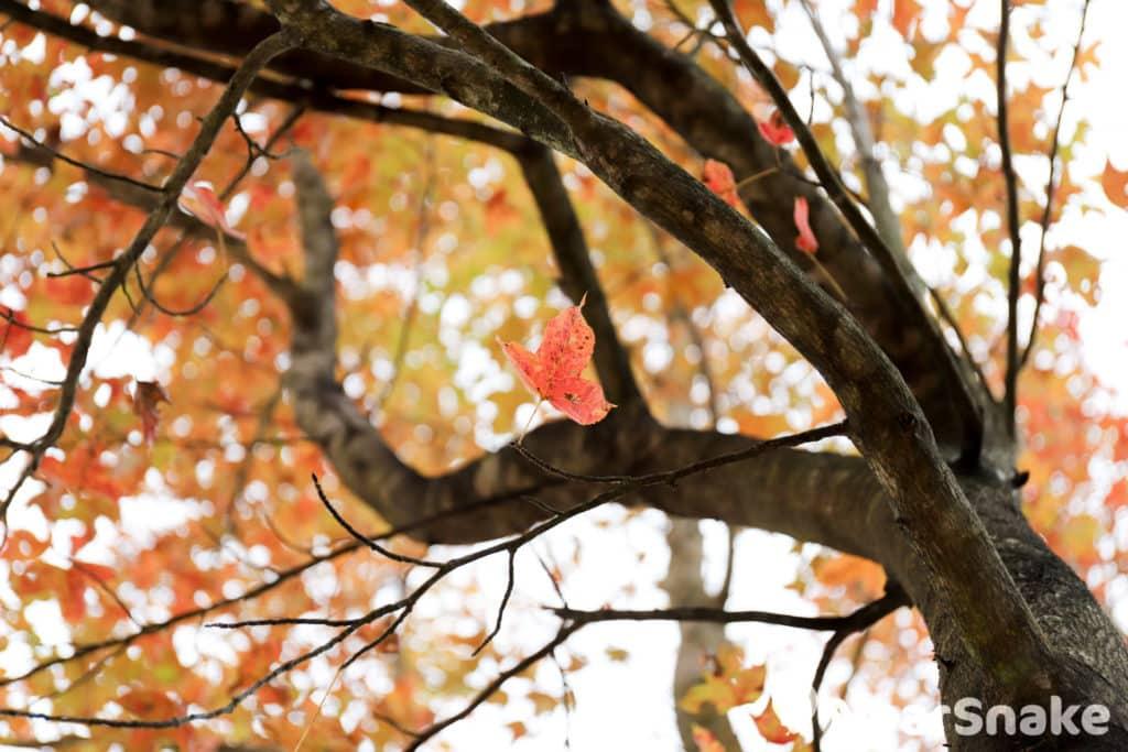 漫天紅葉襯托下,令大棠霎時詩意萬種。