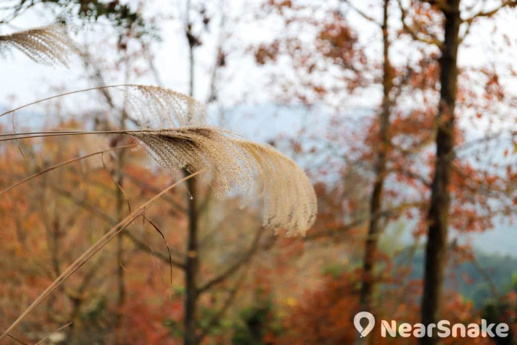大棠楓香林路旁有一處小斜坡,長滿秋意濃濃的芒草,與紅葉互相呼應。