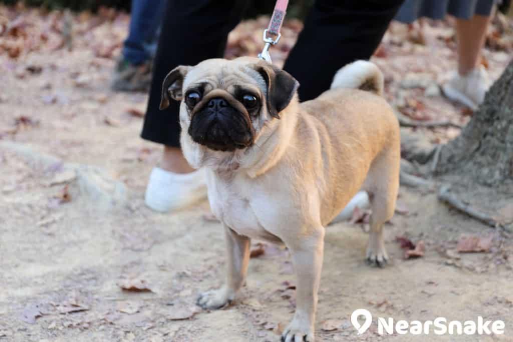 當柴犬被圍住拍攝的時候,在旁邊被冷落的八哥面露落神情,其實牠亦相當可愛喔!