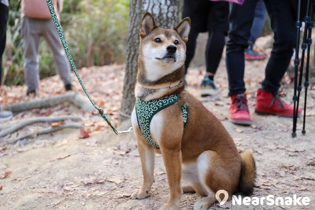 拍攝當天,遇到隨主人登山的柴犬少說也有十數隻,牠們看來與秋冬特別合襯。