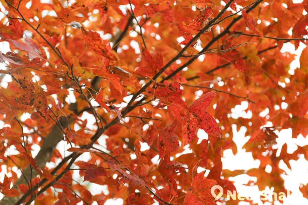 拉長焦距拍攝容易獲得紅葉茂密的效果。