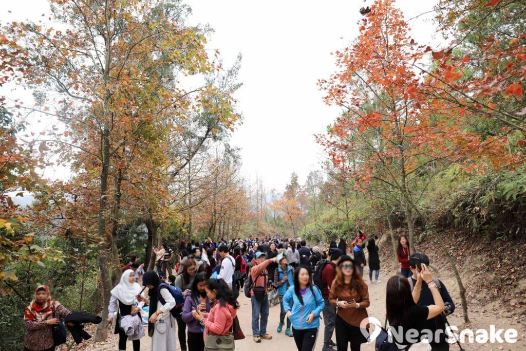 元朗大棠每逢紅葉時節,假日都會迫滿遠道而來的遊客,當中不少菲律賓、印尼人都懂來這本地賞紅葉熱點。