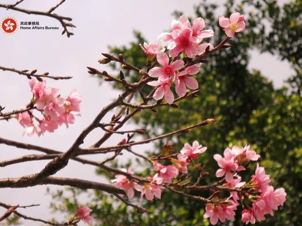 香港單車館公園內栽種的櫻花品種是「鐘花櫻桃」,雖然只得寥寥數棵,但如用相機作近距拍攝,仍可拍出嬌媚的櫻花美態。