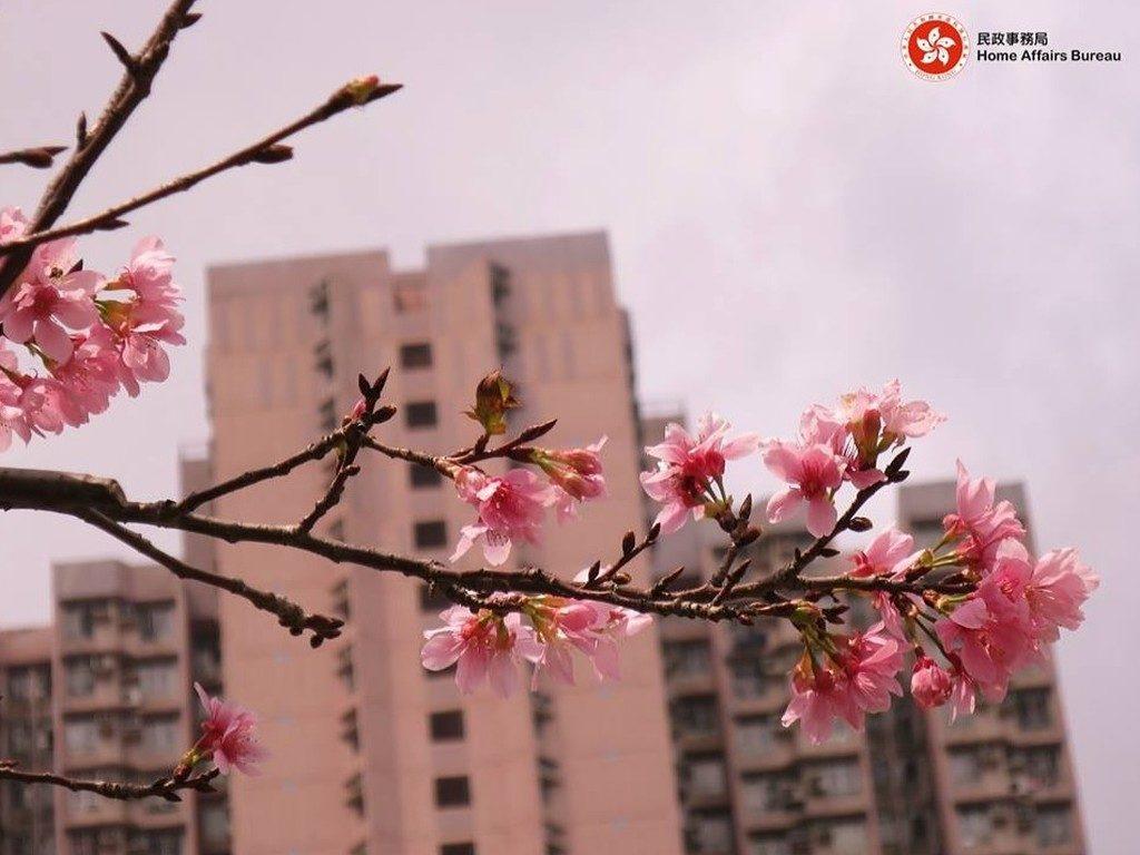 如以香港單車館公園旁的住宅屋苑作背景,便可拍得具香港特色的櫻花照片。