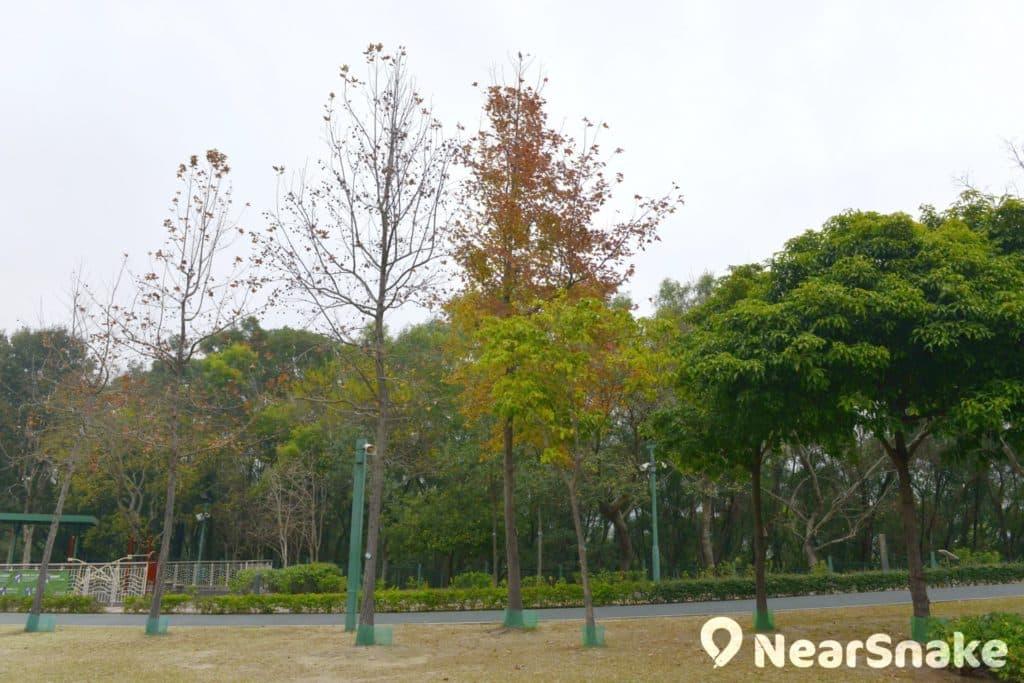 佐敦谷公園內的楓香樹和烏桕樹踏入冬季後,葉子便會轉紅,令公園成為另一香港紅葉景點。