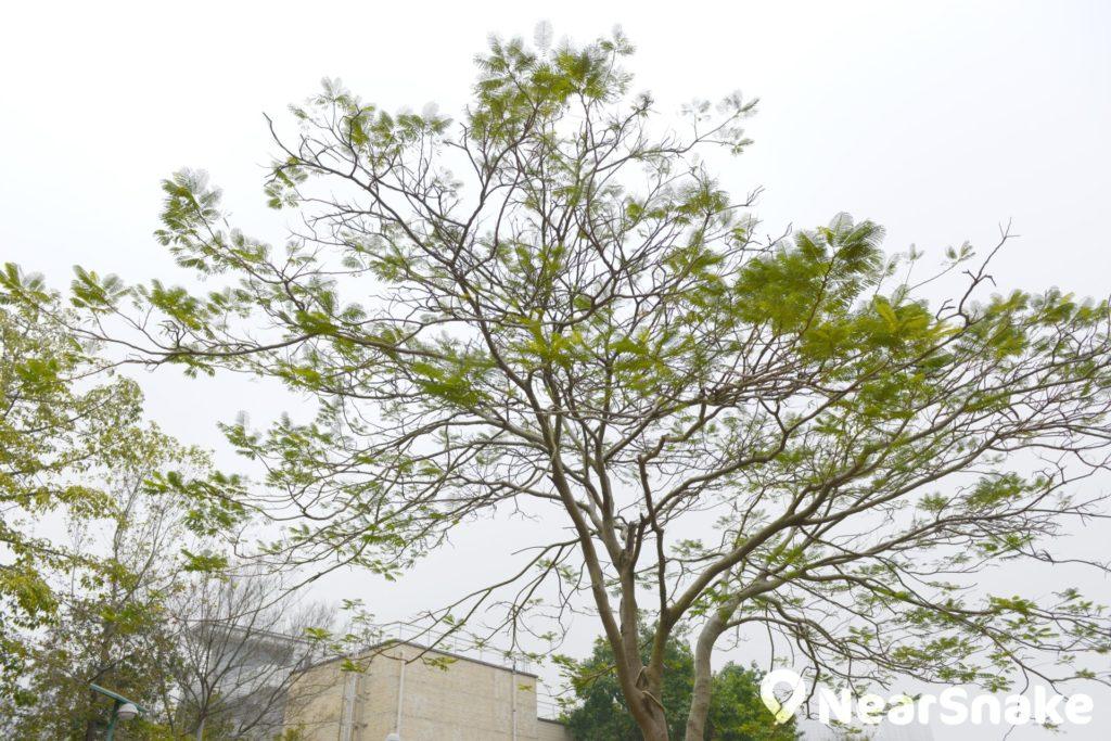 佐敦谷公園內的樹木平日也是頗具觀賞價值。