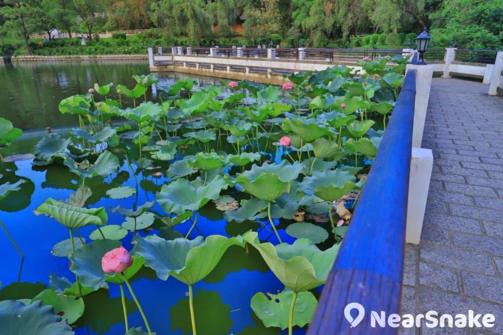 未圓湖有「二池」,除「養德池」外,便是位處西南角的「荷花池」。