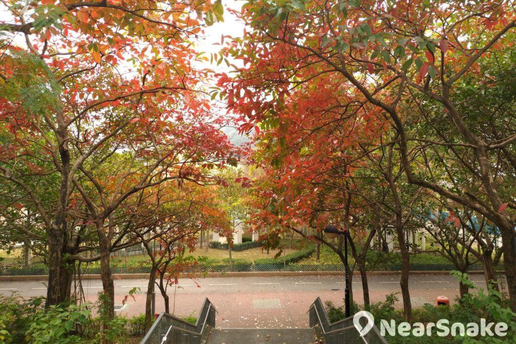 從景林邨往將軍澳游泳池方向走,這道樓梯兩旁的紅葉必令閣下不禁抬頭觀賞。