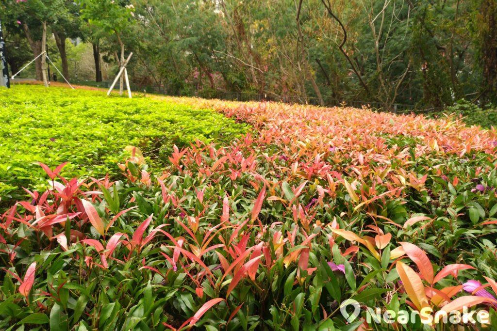 大家別只顧抬頭看,小徑旁花圃內灌木的葉子亦已變成紅色,與相鄰的翠綠植物形成鮮明對比。