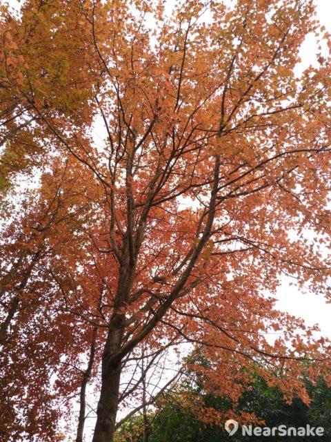 大家往前走幾步到將軍澳游泳池與東華三院王余家潔紀念小學之間的位置,就能看到葉子全紅透的楓香樹了!
