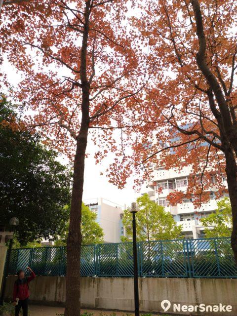 將軍澳紅葉勝景恰好位於學校旁,大家拍攝時可要安靜一點,千萬不要滋擾小學生上課喔!