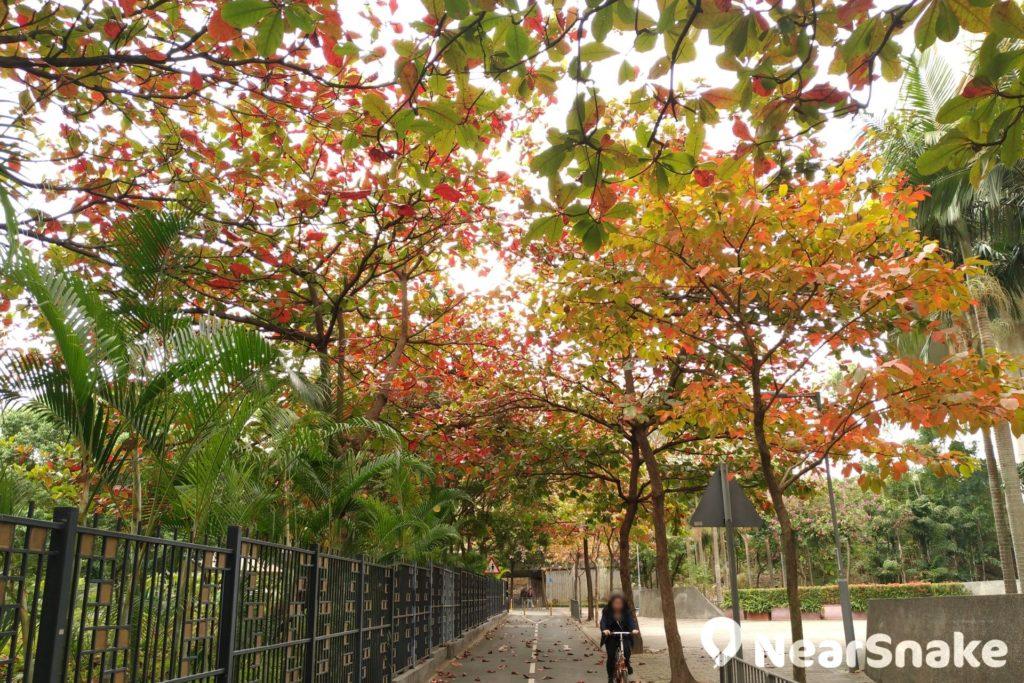 從寶順路進入常寧遊樂場前也能找到幾株紅葉樹,中間以一條單車徑點綴,情景還帶點浪漫喔!