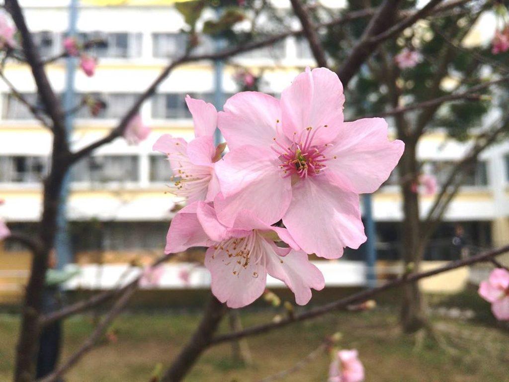 中文大學新亞書院知行樓對出的草坪,栽種了 7 棵日本最優質櫻花品種之一的河津櫻。
