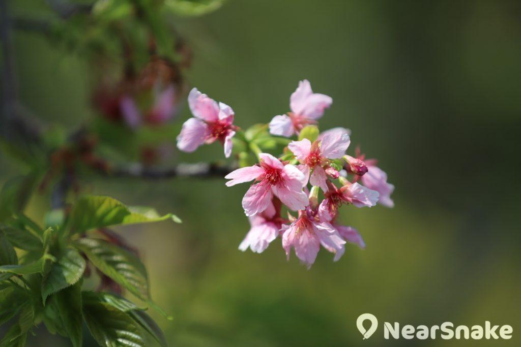 除新亞書院外,中大逸夫書院「櫻花園」亦栽種了 7 棵河津櫻。