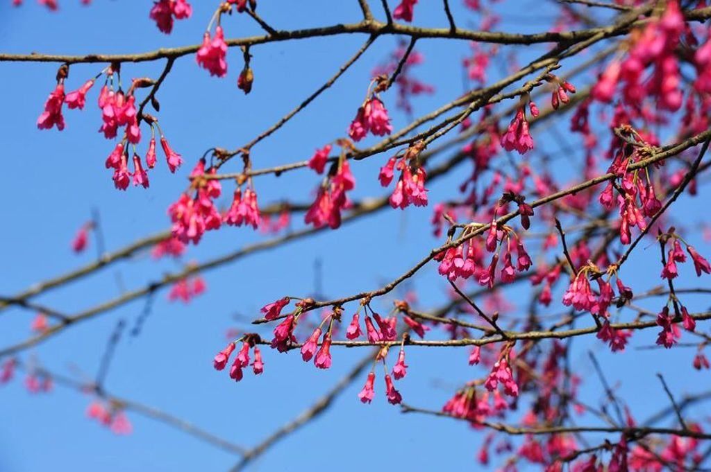 嘉道理農場暨植物園 櫻花