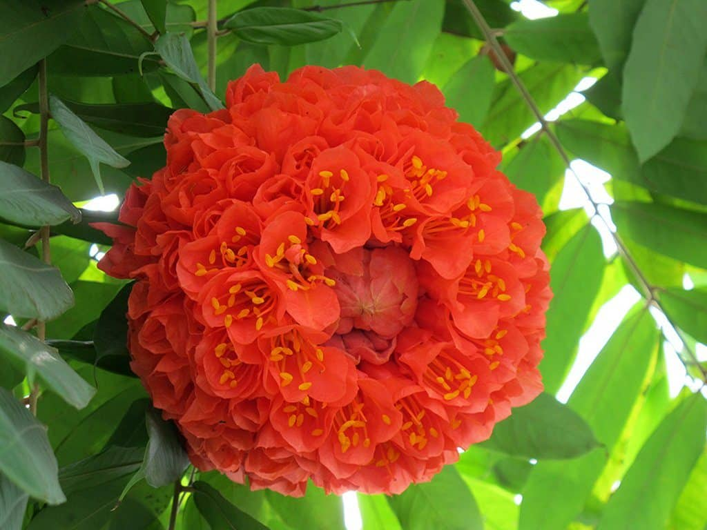 繡球花的花色一般為紅、藍、或紫色,花期為 4 月至 6 月。