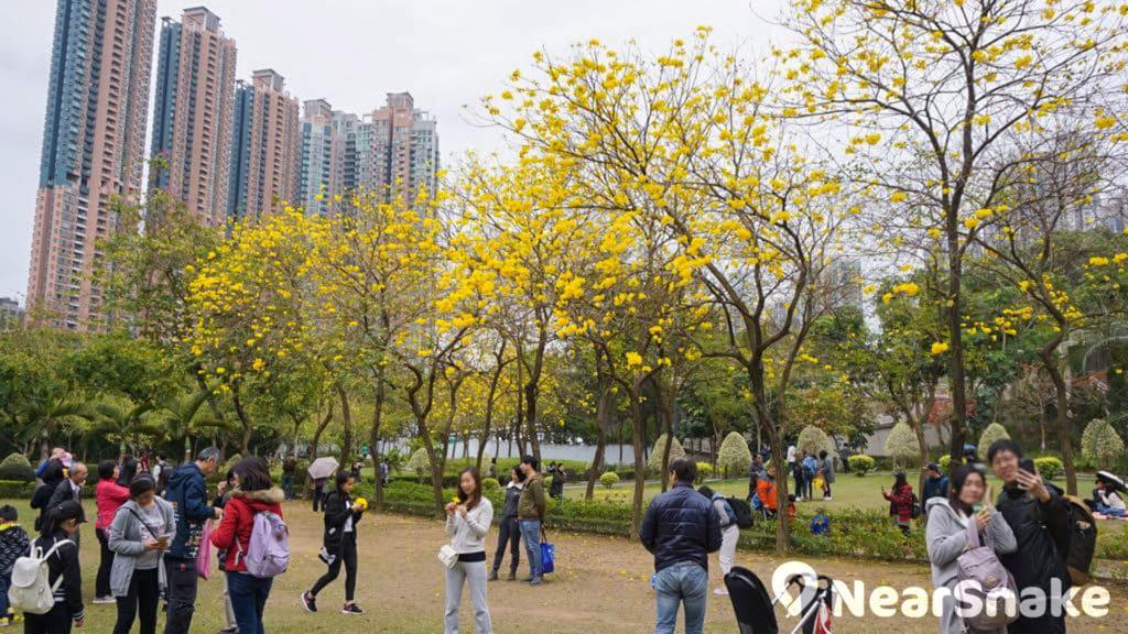 每到春天,南昌公園的風鈴木花朵綻放,吸引遊人來影相打卡。