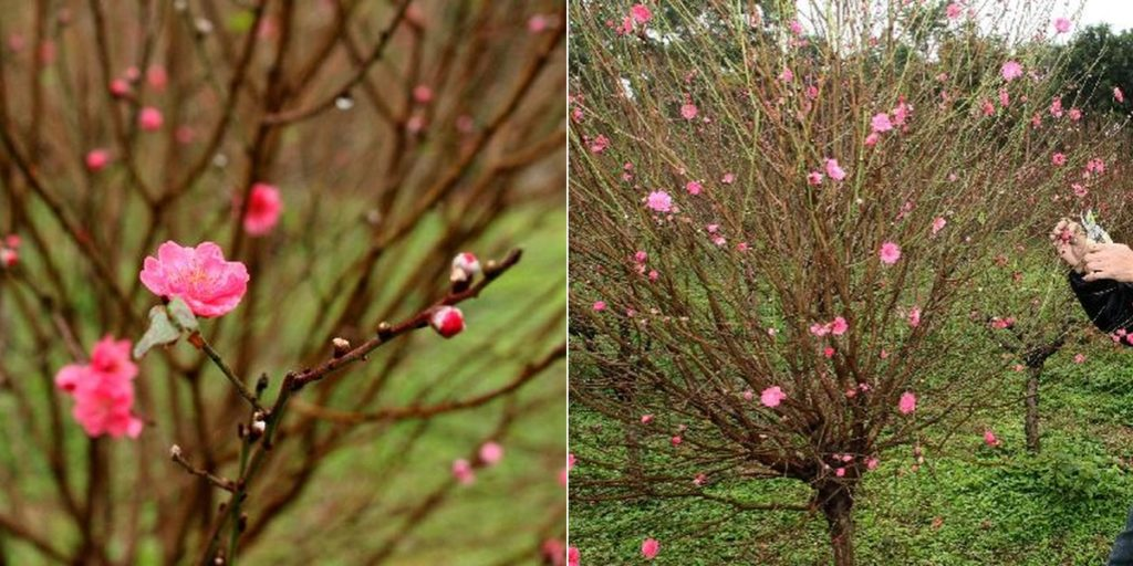 青衣公園的桃花園栽種了逾 400 株桃花。