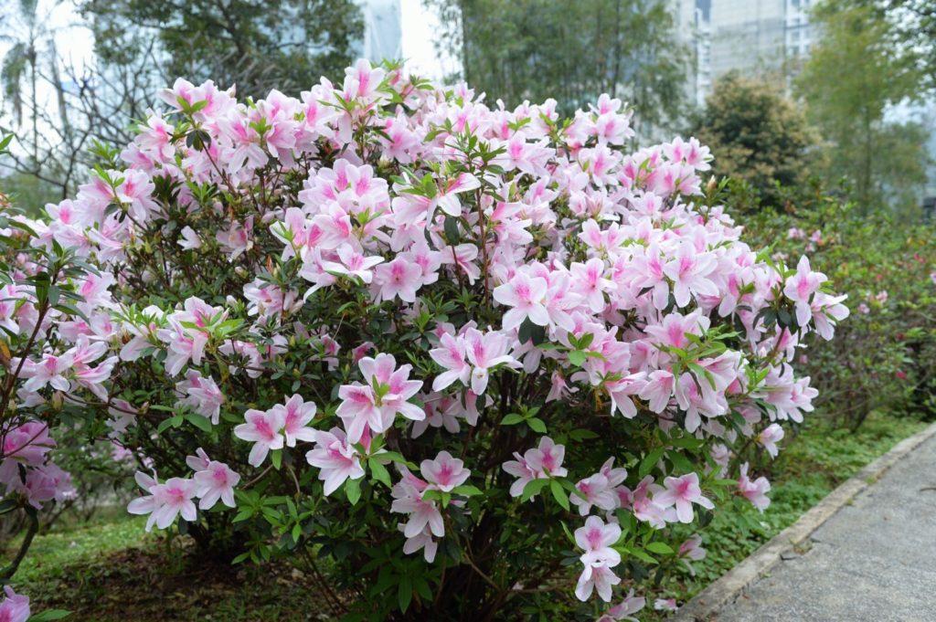 香港禮賓府內的杜鵑花每年三月便會盛放。