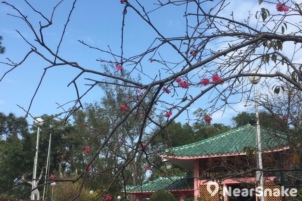 經歷多年風吹雨打,關公忠義亭外的櫻花樹已顯得有點零落。