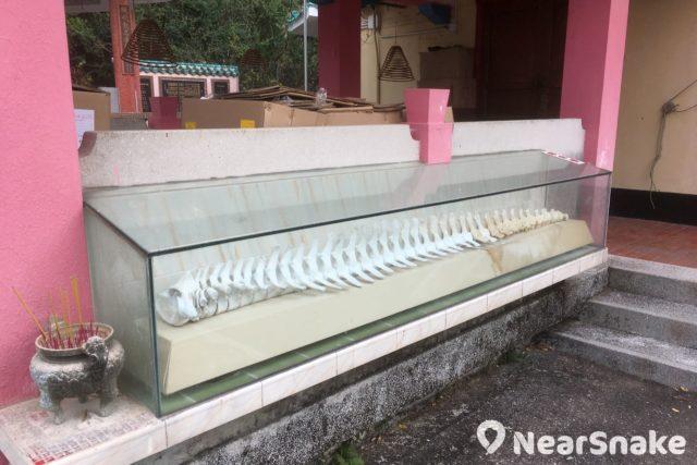 長洲關公忠義亭外擺設了一副小鯨魚骨,這是從前漁民在海裡撈獲,再送進廟裡供奉。