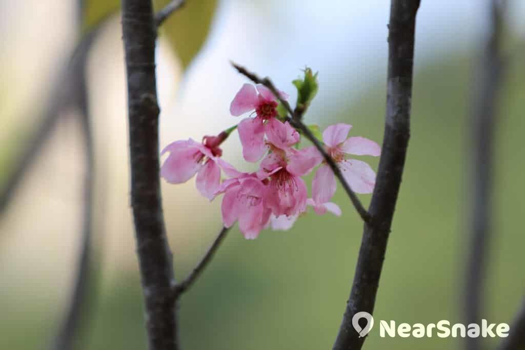 河津櫻開花期很短,今年到了 3 月中已過了盛放期。